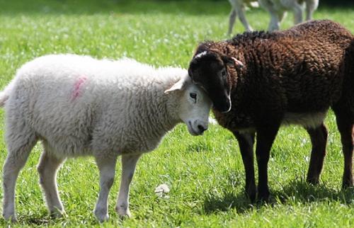 SheepHug1